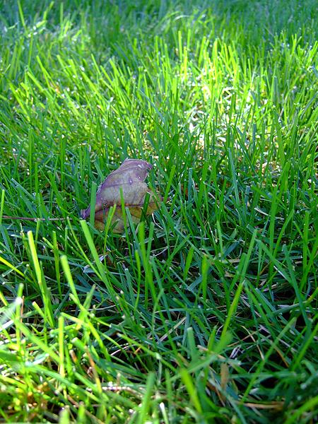 草地上的落葉。這兒的草都留的比較長,看起來很柔軟。平均二天就會聽到剪草機的聲音。