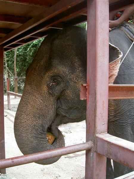 大象吃椰子