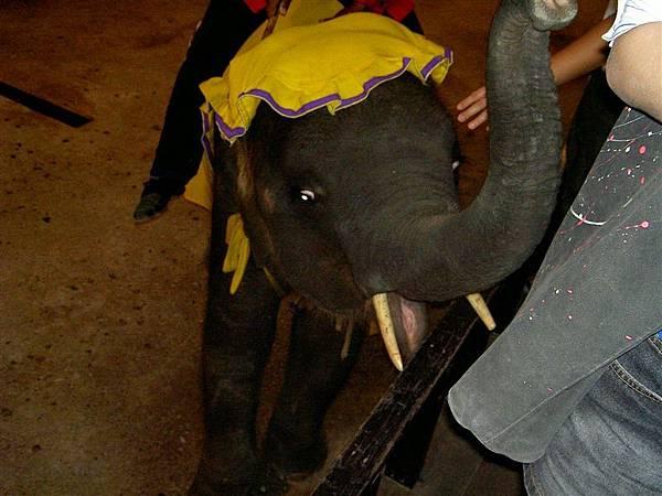 有完整象牙的小象喔...