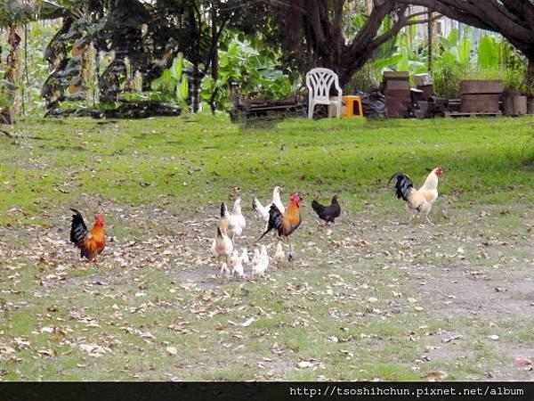 大雞小雞自在漫步園中.jpg