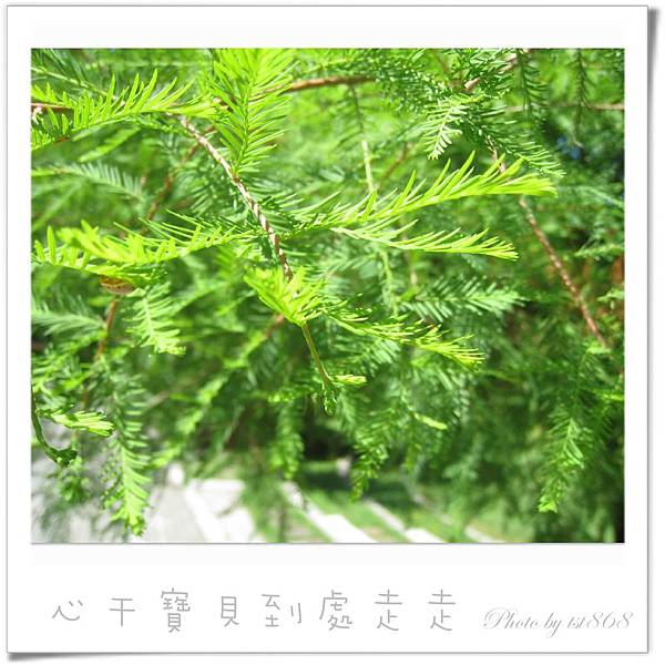 武陵之杉.jpg