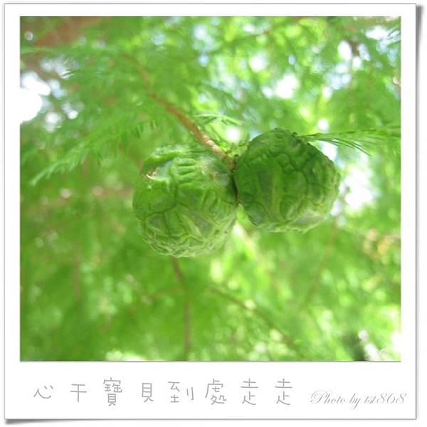 武陵之杉毬果.jpg