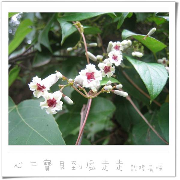 武陵之花4.jpg