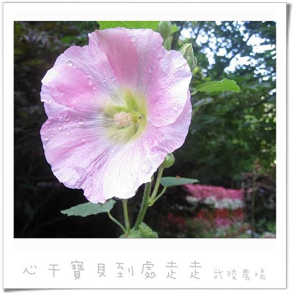武陵之花8.jpg
