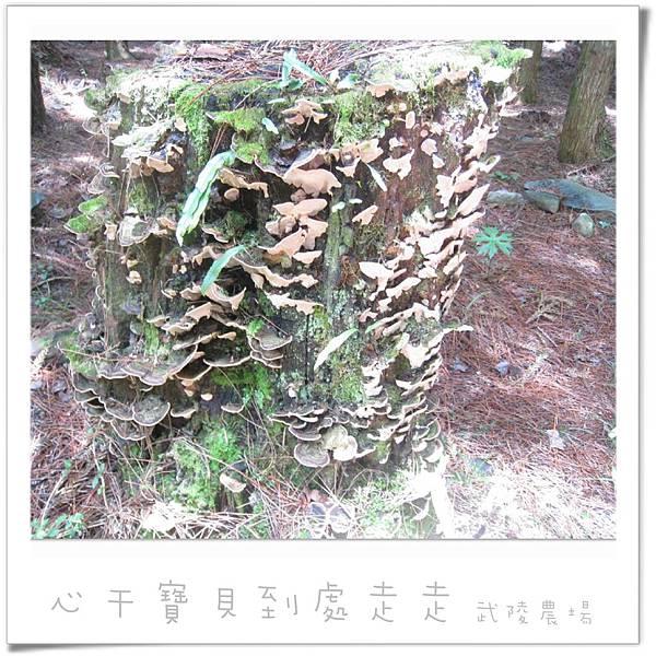 武陵之樹3.jpg