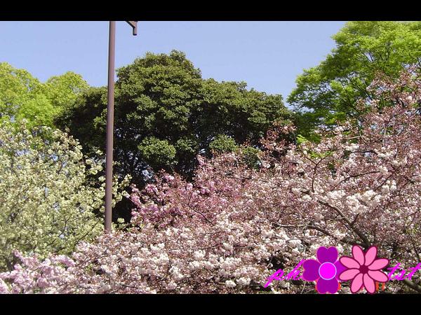 大阪造幣局 (10).jpg
