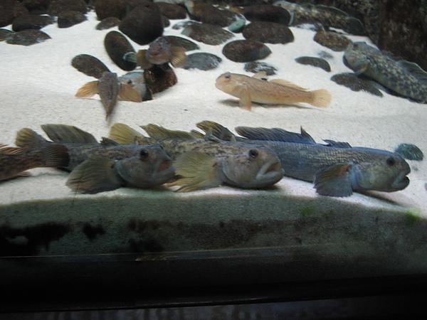 芝加哥downtown水族館022611 065.JPG