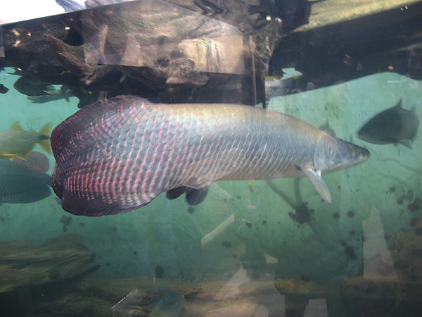 芝加哥downtown水族館022611 020.JPG