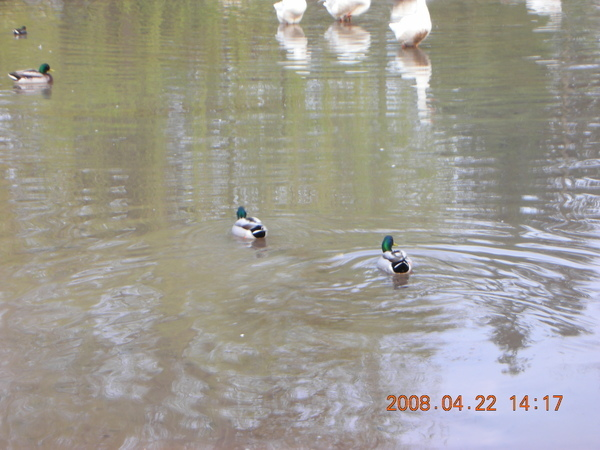 湖上面還有鴨鴨鵝鵝雁雁..