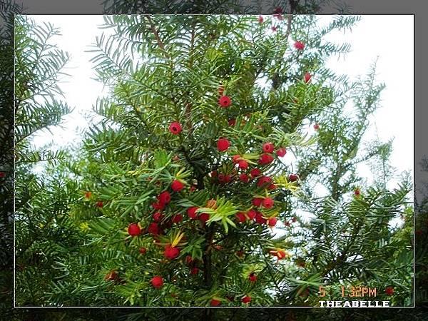 結實纍纍的紅豆杉