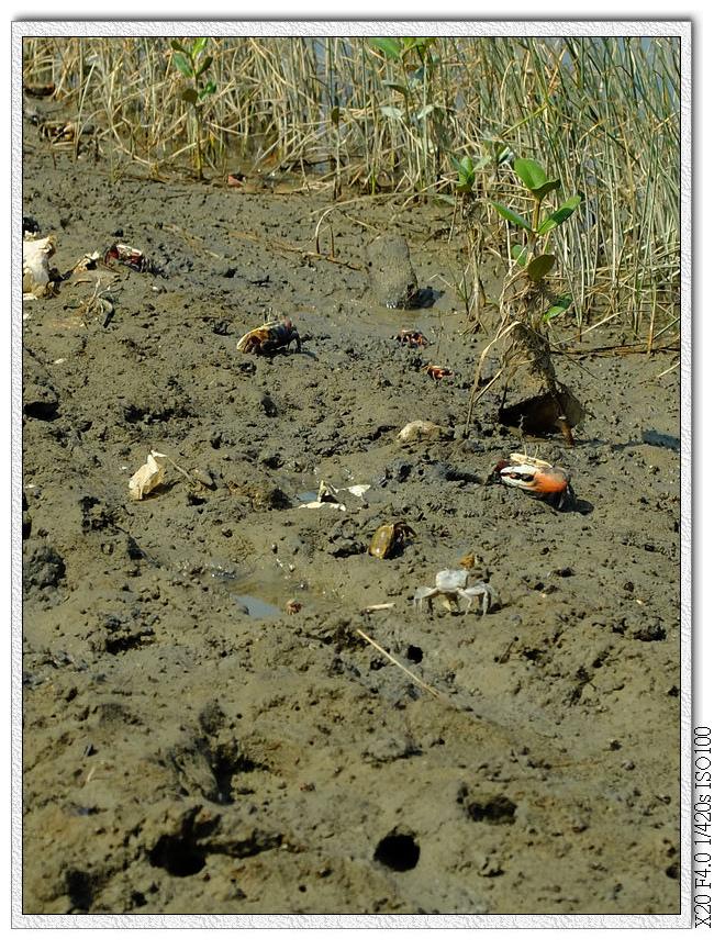 香山濕地的螃蟹們