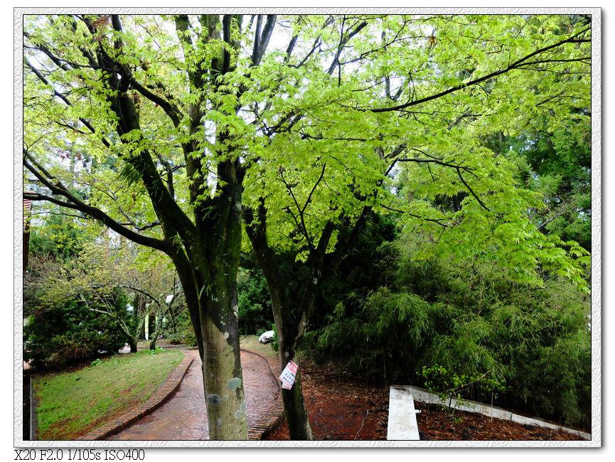 松盧外的楓樹