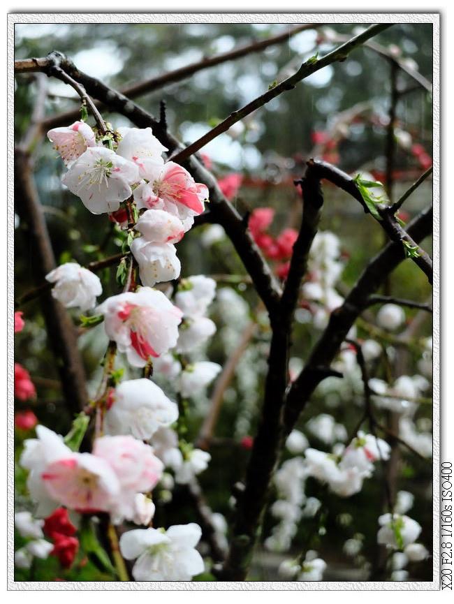 一朵花也會有兩種顏色,看心情長