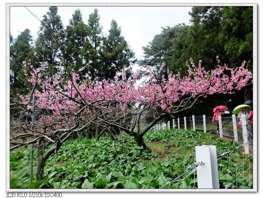 桃園的桃花