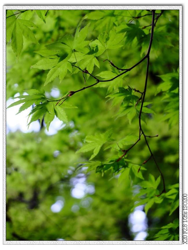 松盧的楓葉...沒陽光超可惜的