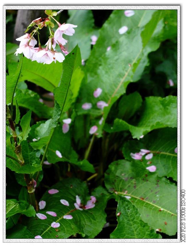 櫻花瓣,這種長得像甜菜的草聽說根很深拔不斷,是用來水土保持的