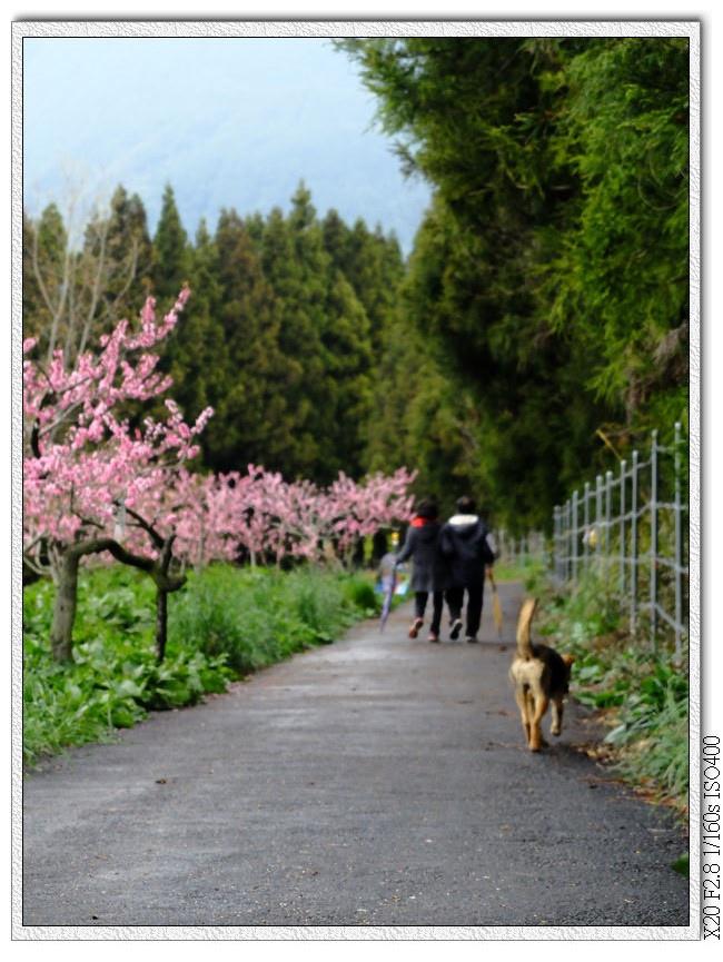小黃跟著散步中