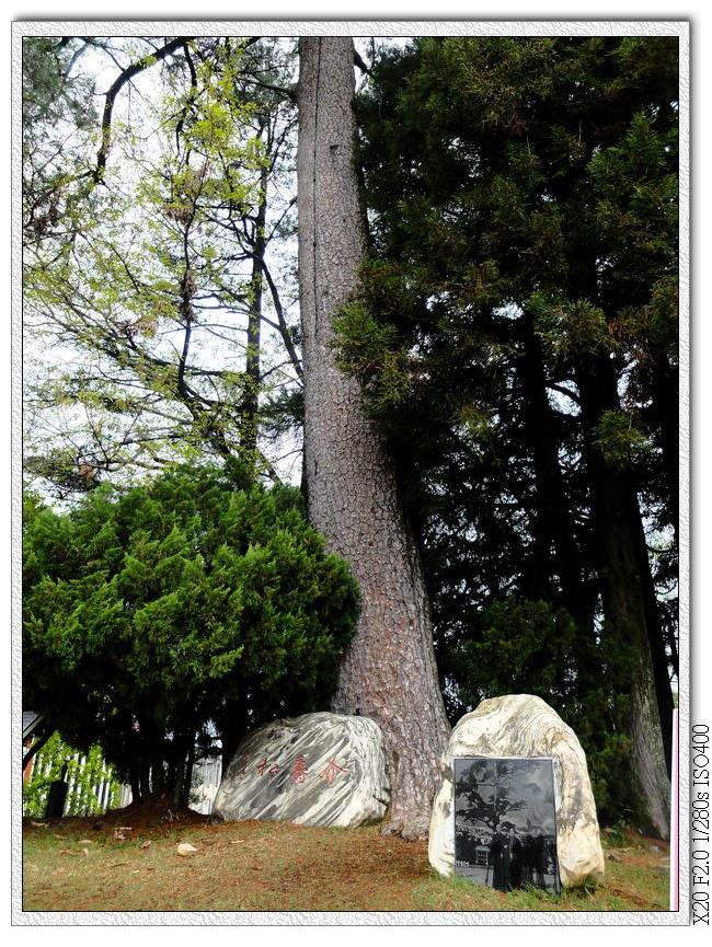 被雷劈到的松樹