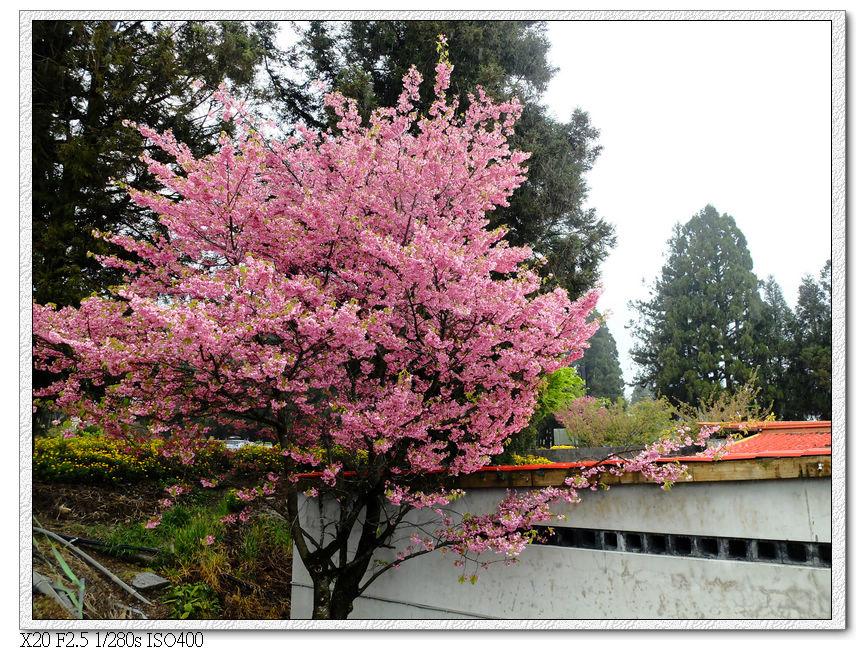 門口的櫻花