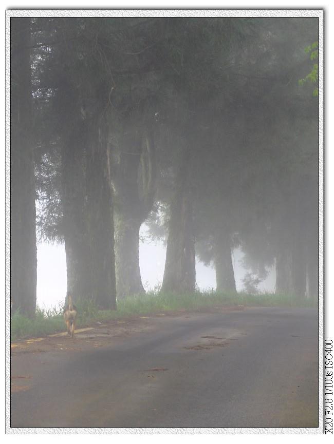 門口杉木林中的小黃