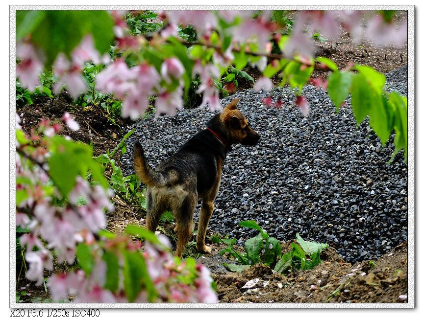 小黃在櫻花林步道