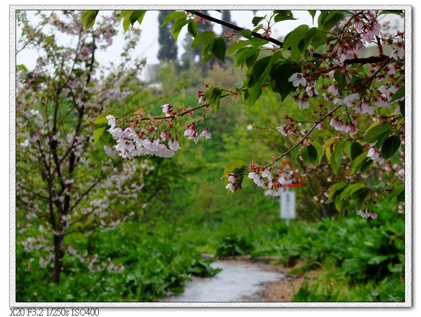 櫻花林步道