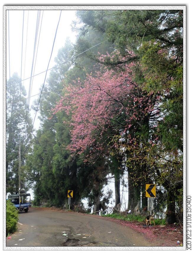 高高的櫻花樹下的小黃