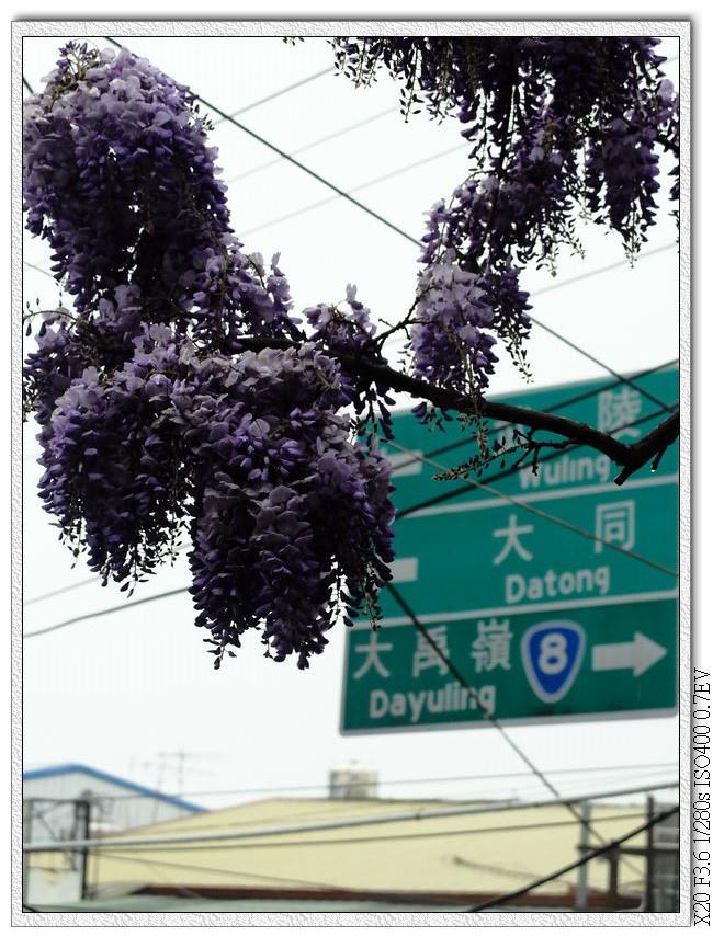這邊紫藤花開得還不錯