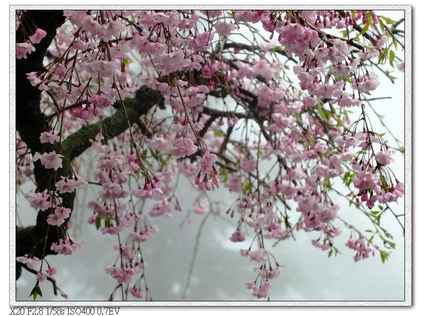 郵局前的櫻花還開的很漂亮