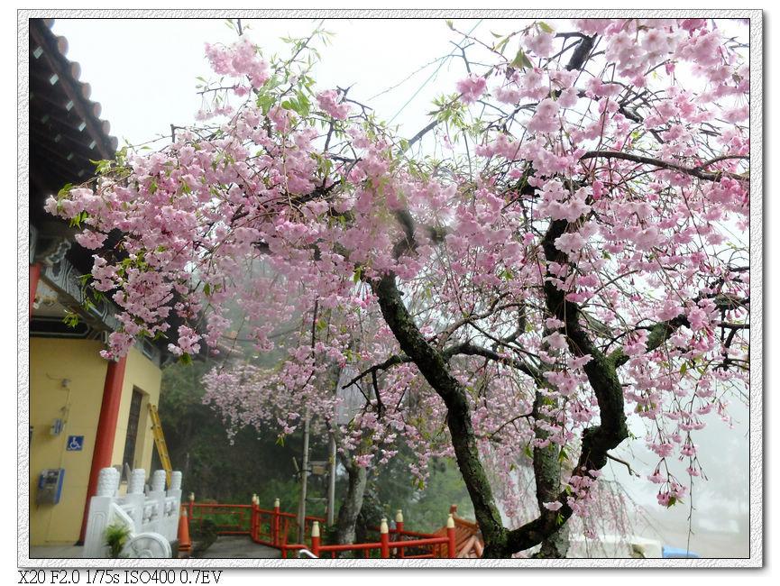 郵局前的櫻花
