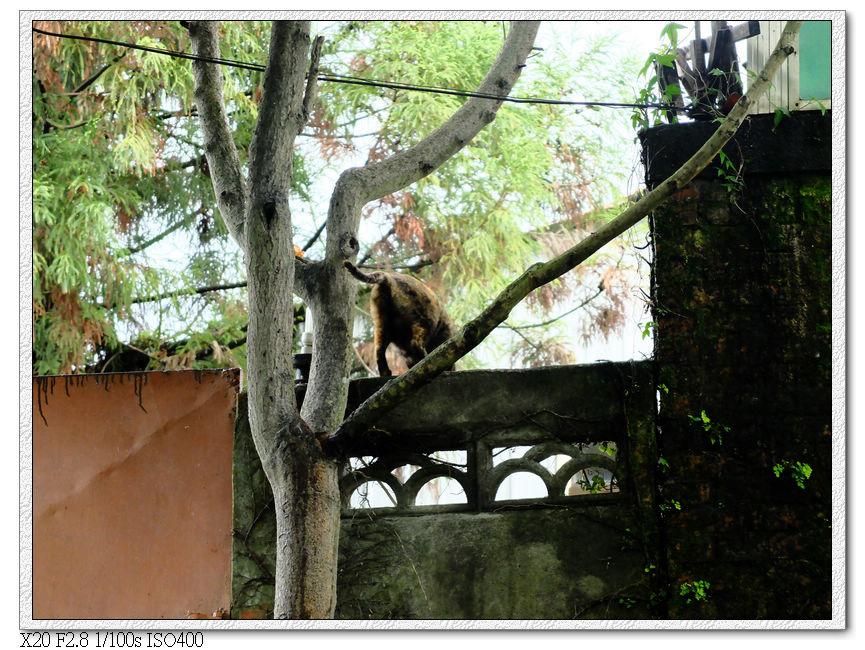!現在還有貓會爬樹!?