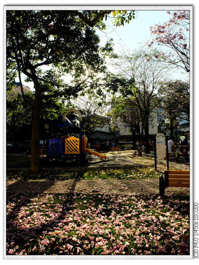洋紅風鈴木-松勇公園