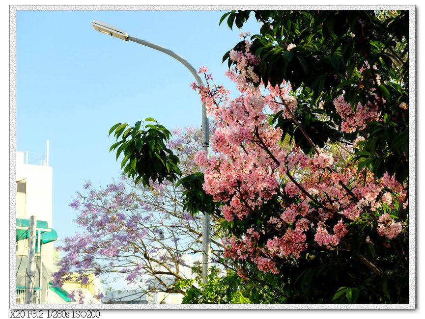 櫻花,藍花楹-松勇公園