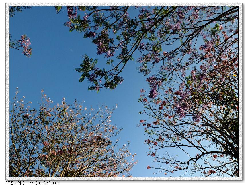洋紅風鈴木,藍花楹-松勇公園