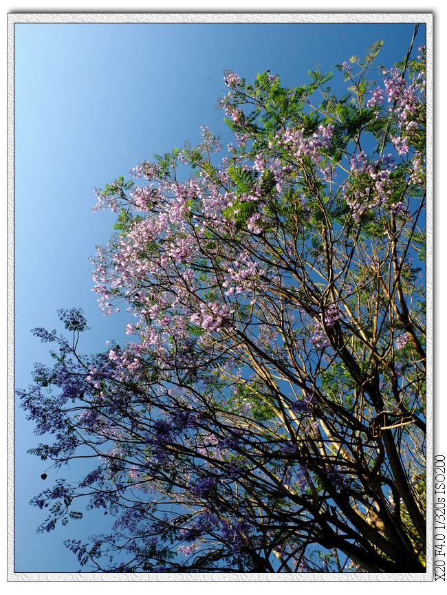 藍花楹+洋紅風鈴木-松勇公園