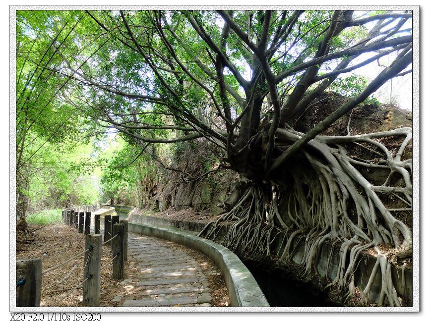 老樹的樹根
