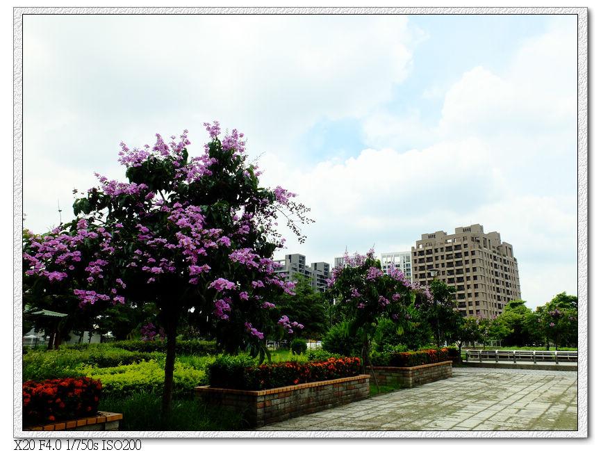 廍興公園-大花紫薇