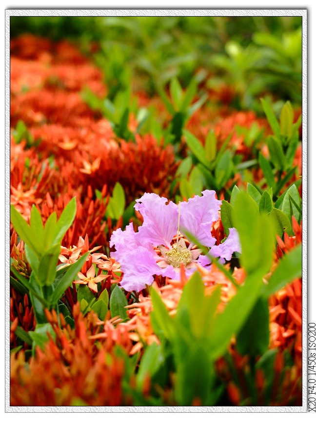 廍興公園-大花紫薇 ,矮仙丹