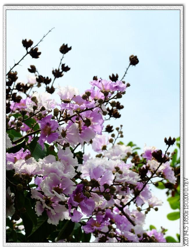太原停車場-大花紫薇