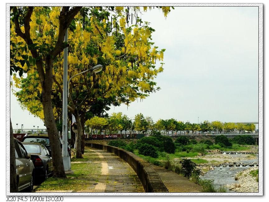 旱溪西路三段-阿勃勒