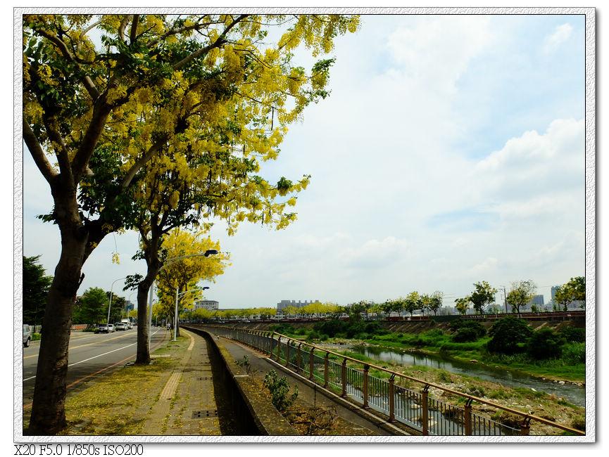 旱溪東路三段-阿勃勒