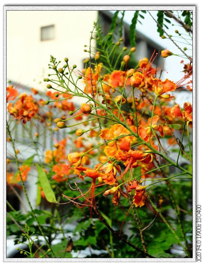 太原路-蛺蝶花