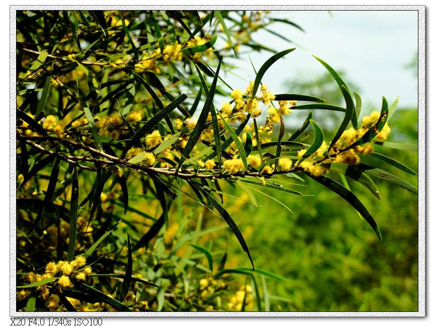 相思樹開花,一堆樹頭黃澄澄的