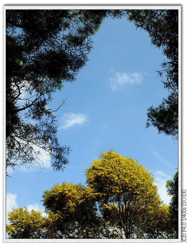 藍天跟黃澄澄的相思樹