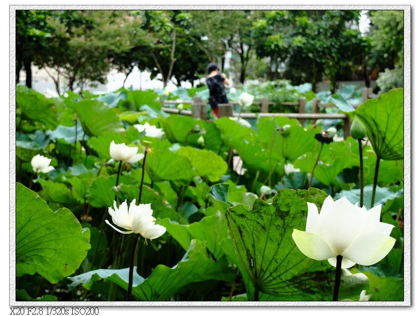 景賢公園荷花池
