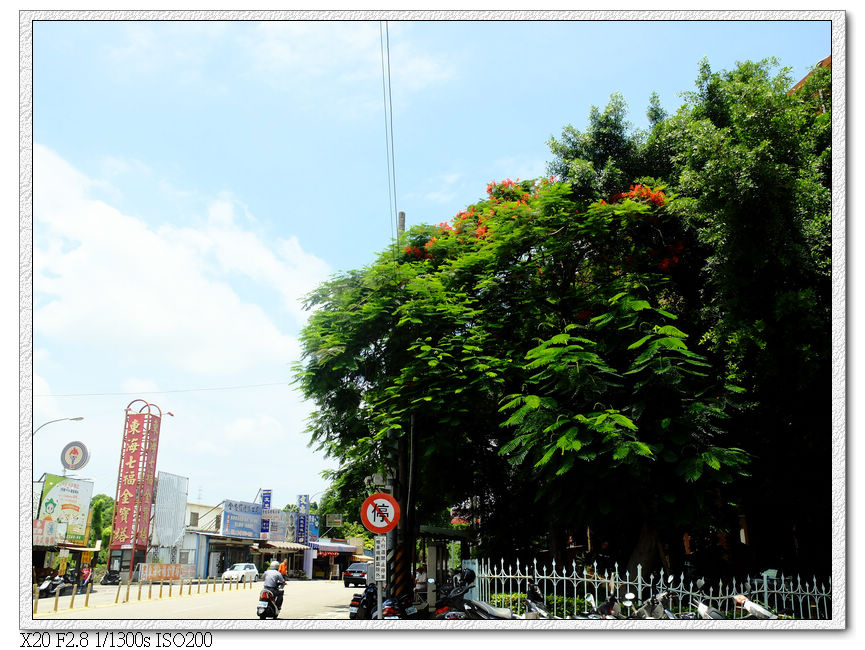 榮總的鳳凰樹