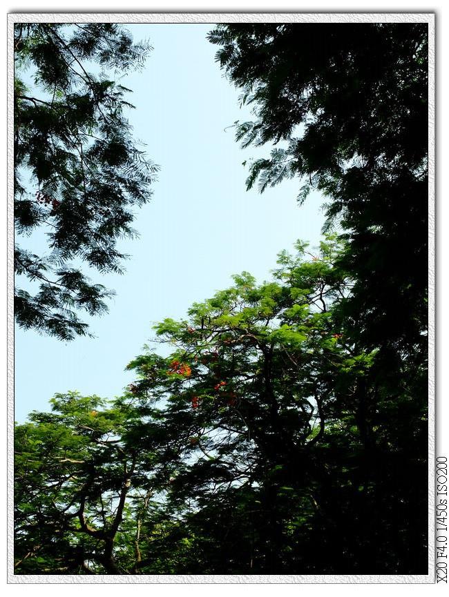 東海大學鳳凰木