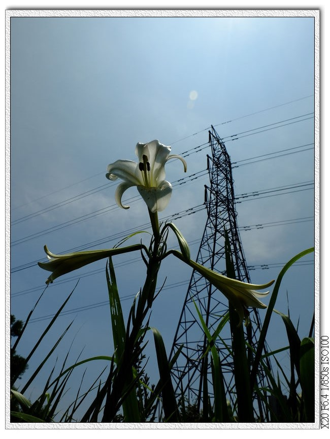 電塔下的台灣百合