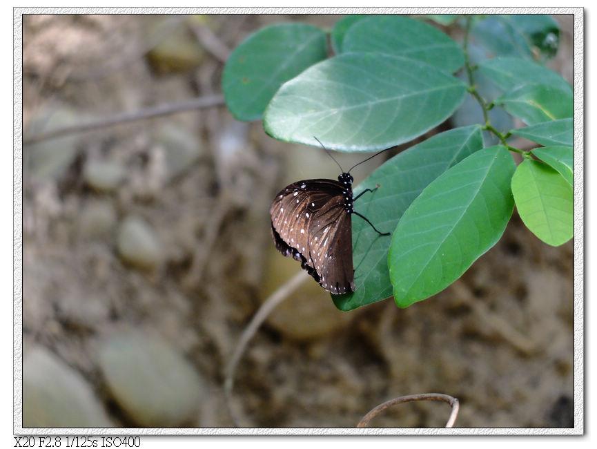 紫斑蝶,翅膀張開後有很漂亮的光澤