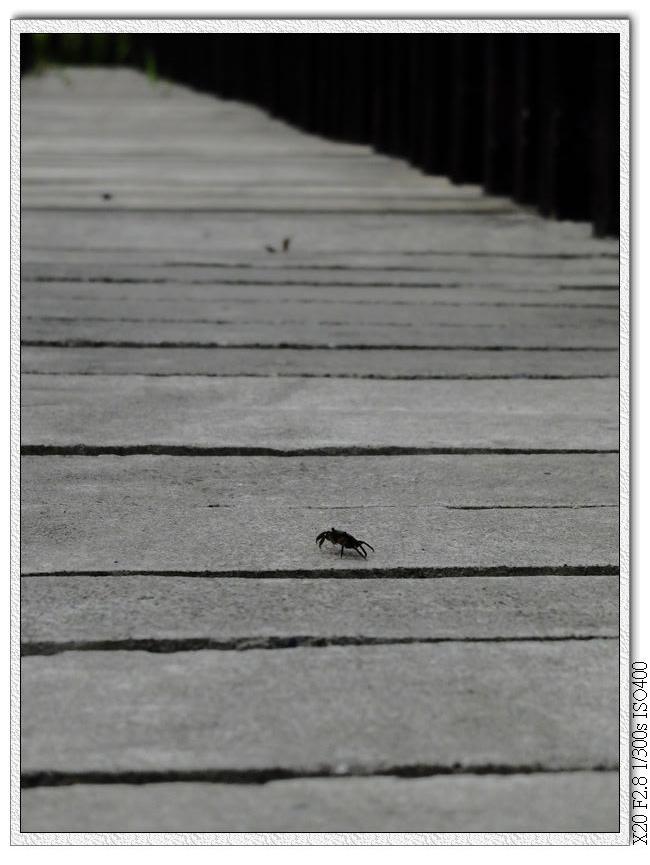 紅樹林木棧道上有螃蟹吹海風